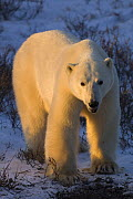 Polar bear {Ursus maritimus} at sunset Churchill, Manitoba, Canada. - Warwick Sloss