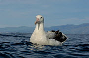 New Zealand albatross (Diomedea antipodensis) on water off Kaikoura coast, South Island, New Zealand. - Mike Potts
