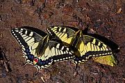 Swallowtail butterflies (Papilio machaon) sunning on a riverbank in Arkhyz section of the Teberdinsky biosphere reserve, Caucasus, Russia, July 2008 - Wild Wonders of Europe / Schandy