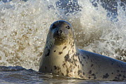 Grey seal (Halichoerus grypus) in shallow water with waves breaking behind, Donna Nook, Lincolnshire, UK, November 2008 - Wild Wonders of Europe / Geslin