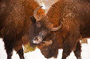 Two European bison (Bison bonasus) fighting, Bialowieza NP, Poland, February 2009. WWE BOOK. WWE OUTDOOR EXHIBITION. NOT TO BE USED FOR GREETING CARDS OR CALENDARS PRESS IMAGE. Wild Wonders kids book. - Wild Wonders of Europe / Unterthiner