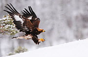 RF- Golden eagle (Aquila chrysaetos) landing in snow, Flatanger, Norway. November. (This image may be licensed either as rights managed or royalty free.)  -  Wild  Wonders of Europe / Widstrand