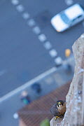 Looking down to road and Peregrine falcon (Falco peregrinus) perched on Sagrada Familia, Barcelona, Spain, April  -  Wild  Wonders of Europe / Geslin