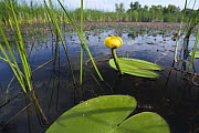 Yellow water lily (Nuphar luteum) Backwater of Latorica River, Eastern Slovakia, Europe, June 2009 - Wild Wonders of Europe / Wothe