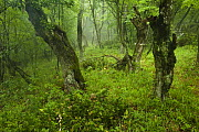 Old growth Lime (Tilia sp) forest, Djerdap National Park, Serbia, June 2009 - Wild Wonders of Europe / Smit