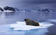 Walrus (Odobenus rosmarus) lying on ice, Spitsbergen, Svalbard, Norway, June 2009 - Wild Wonders of Europe / Liodden