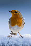 Robin (Erithacus rubecula) in snow, winter, Somerset, UK Not available for ringtone/wallpaper use. - Warwick Sloss