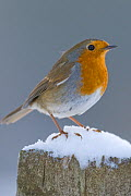 Robin (Erithacus rubecula) in snow, winter, Somerset, UK - Warwick Sloss