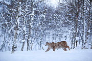 European Lynx (Lynx lynx) in birch forest in snow, Tromso, Norway, captive, April - Peter Cairns