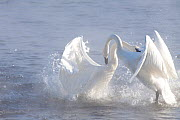 Trumpeter Swans (Cygnus buccinator) in winter morning mist, showing aggression during courtship behaviour, Mississippi River, Minnesota, USA, February - Lynn M Stone