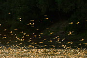 Tisza mayflies (Palingenia longicauda) swarming, Tisza river, Hungary, June 2009=  -  Wild Wonders of Europe / Radisics