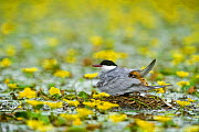 Whiskered Tern (Chlidonias hybridus) with chicks on water covered with yellow floating heart (Nymphoides peltata) in Hortobagy National Park, Hungary, July 2009  -  Wild Wonders of Europe / Radisics