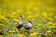 Two Whiskered terns (Chlidonias hybridus) on water covered with flowering Fringed water lilies / yellow floating heart (Nymphoides peltata) Hortobagy National Park, Hungary, July 2009  -  Wild Wonders of Europe / Radisics