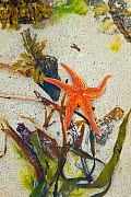 Starfish on Dail Beag Beach at low tide, Lewis, Outer Hebrides, Scotland, UK, June 2009 - Wild Wonders of Europe / Muñoz
