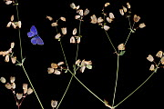 Bladder campion (Silene vulgaris) with seed heads, and an Escher�s blue butterfly (Polyommatus escheri) Stenje region, Galicica National Park, Macedonia, June 2009, dead insects and plants placed dire... - Wild Wonders of Europe / Maitland