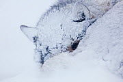 Sled dog (Canis familiaris) sleeping in snow, Spitsbergen, Svalbard, March 2009 - Wild Wonders of Europe / Liodden