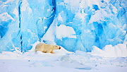 Polar bear (Ursus maritimus) in front of glacier, Spitsbergen, Svalbard, March 2009 - Wild Wonders of Europe / Liodden
