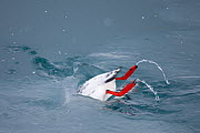 Black guillemot (Cepphus grylle) diving into water, Spitsbergen, Svalbard, March 2009 - Wild Wonders of Europe / Liodden