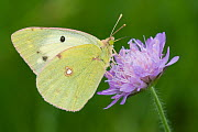 Berger's clouded yellow butterfly (Colias alfacariensis) on flower, Liechtenstein, June 2009 WWE BOOK  -  Wild Wonders of Europe / Giesbers