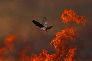 Male Red footed falcon (Falco vespertinus) hunting over burning steppe fields, Bagerova Steppe, Kerch Peninsula, Crimea, Ukraine, July 2009 WWE OUTDOOR EXHIBITION.  -  Wild Wonders of Europe / Lesniew