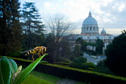 Yellow-legged moustached icon hoverfly (Syrphus ribesii) on leaf in garden of Vatican City, Rome, Italy, March 2010 - Wild Wonders of Europe / Geslin
