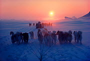 Dog sleds pulled by Huskies (Canis familiaris)crossing sea ice, Northwest Greenland, 1980  -  Bryan and Cherry Alexander