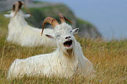 Wild goats (Capra hircus) resting on coastal promontory, one yawning, Great Orme, Llandudno, Gwynedd, North Wales, UK, August - Mike Potts