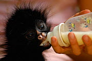 Young Long haired / White-bellied Spider monkey (Ateles belzebuth) being fed bottle of milk, Amazoonico Animal Rescue Center (captive) Ecuador, South America  -  Pete Oxford
