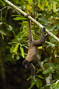 Common Woolly monkey (Lagothrix lagotricha) hanging upside down from tree branch Amazoonico Animal Rescue Center (captive) Ecuador, South America  -  Pete Oxford