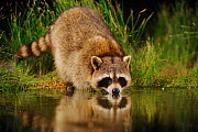 RF- Northern Raccoon (Procyon lotor) drinking from wetland lake. Fennessey Ranch, Refugio, Coastal Bend, Texas Coast, USA. (This image may be licensed either as rights managed or royalty free.) - Rolf Nussbaumer