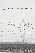 Large flock of White fronted geese (Anser albifrons) feeding and flying with wind turbine in background, the Netherlands, February 2010 - Neil Lucas