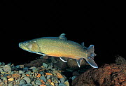 Bull Trout (Salvelinus confluentus), a threatened species in Western United States.  -  Visuals Unlimited