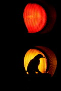 Silhouette of adult Mistle thrush (Turdus viscivorus) nesting in amber traffic light, Glasgow, Scotland, UK, May 2006. Highly commended in Urban and Garden Wildlife category for Wildlife Photographer... - Andrew Walmsley