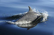 Bottlenose dolphin (Tursiops truncatus) surfacing, off the Lleyn Peninsula, North Wales, UK. May 2010 - Mike Potts