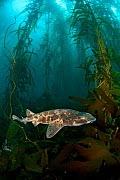 Draughtsboard Shark / Australian Swellshark (Cephaloscyllium laticeps) swims through a giant kelp forest (Macrocystis pyrifera). Like a pufferfish, this species of shark is able to rapidly swell with...  -  Alex Mustard