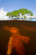 Split level view of Amazon River Dolphin / Boto (Inia geoffrensis) in flooded forest, Ariau River, tributary of Rio Negro, Amazonia, Brazil, July  -  Kevin Schafer