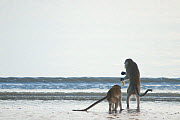 Two Long-tailed / Crab-eating macaques (Macaca fascicularis) foraging along coastline in shallow water, Bako National Park, Sarawak, Borneo, Malaysia - Edwin Giesbers