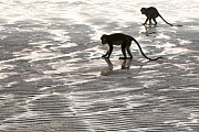 Two Long-tailed / Crab-eating macaques (Macaca fascicularis) foraging on coastline at low tide, Bako National Park, Sarawak, Borneo, Malaysia - Edwin Giesbers