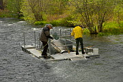 Pacific Gas and Electric fish trap on the Metolius River in central Oregon, USA. The purpose of the trap is to capture juvenile Chinook Salmon (Oncorhynchus tshawytscha) and Kokanee (Oncorhynchus nerk...  -  Visuals Unlimited