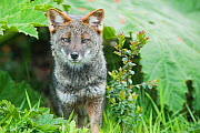 Darwin's Fox (Pseudalopex fulvipes) portrait, in temperate rainforest, Chiloe Island, Chile, November, Critically Endangered  -  Kevin Schafer