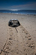 Rear view of Horseshoe crab (Limulus polyphemus) with trail in sand, Delaware Bay, Delaware, USA, May  -  Ingo Arndt