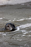 Bull Grey Seal ( Halichoerus grypus ) hunting for Sea Trout and Salmon in barrage of River Tawe, Severn Estuary, Swansea, Wales, UK, September  -  David Woodfall