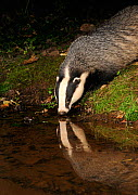 Badger (Meles meles) drinking at stream, with reflections, Mid Devon, England, August  -  Kevin J Keatley