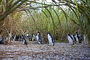 A group of Rockhopper Penguins (Eudyptes chrysocome) under long coastal grasses. The world population of Northern Rockhopper has declined by 90% in the past 60 years. Nightingale Island, Tristan da Cu... - Troels Jacobsen/Arcticphoto