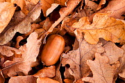 English oak tree {Quercus robur} acorn and fallen leaves in autumn, Beacon Hill Country Park, The National Forest, Leicestershire, UK, November - Ross Hoddinott / 2020VISION