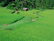 Aerial view of rice paddy fields (Oryza sativa) fixed-point observation of seasonal changes, summer, Shiga, Japan, early August, sequence 4/8 - Nature Production