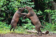 Two male Babirusa fighting (Babyrousa babyrussa) Sulawesi, Indonesia, vulnerable species - Nature Production