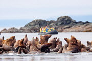 Steller's Sea Lions (Eumetopias jubatus) resting on rocks above the tideline. Zodiac with tourists watching in the background. The Brothers, Alaska, United States, July.  -  Brent Stephenson