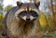 Portrait of a Common Racoon (Procyon lotor). Stanley Park, Vancouver, Canada, March. - Matthew Maran