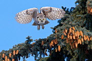 Great Horned owl, (Bubo virginianus) in flight, Regina, Saskatchewan, Canada, March  -  Todd Mintz